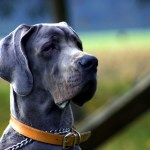 What to Know about the Blue Cane Corso Breed