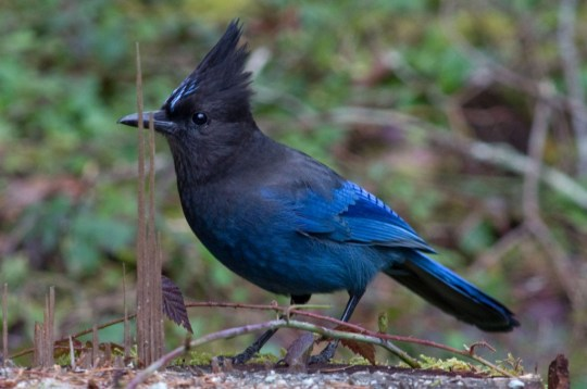 The Steller's' Jay is a common scavanger which lives west of the Rocky Mountains from Alaska to Mexico 2