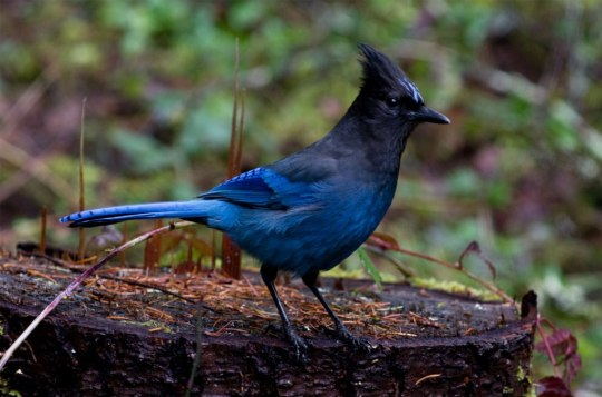 The Steller's' Jay is a common scavanger which lives west of the Rocky Mountains from Alaska to Mexico