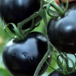 First Black Tomatoes helps in Fight Cancer