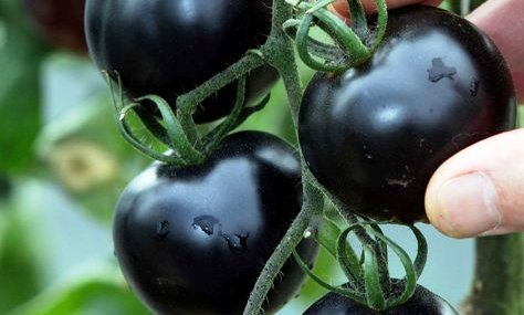 First Black Tomatoes helps in Fight Cancer - Charismatic ...
