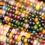 Real Multicolored Kernels of Corns