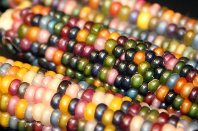 Eye-Catching Multicolored Kernels of Corns 5