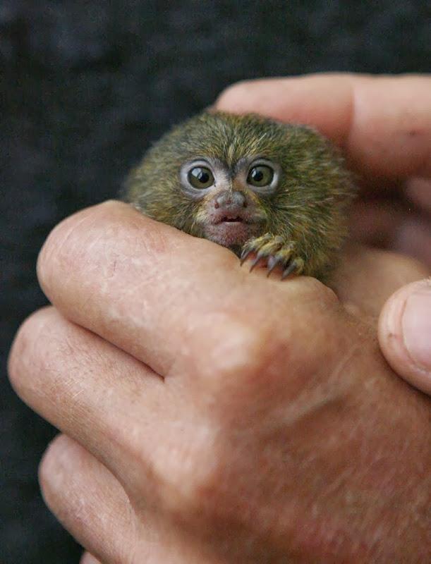 pygmy-marmoset-1[2]