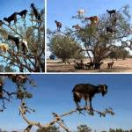 Goats Climbs Argan Tree in Search of Food