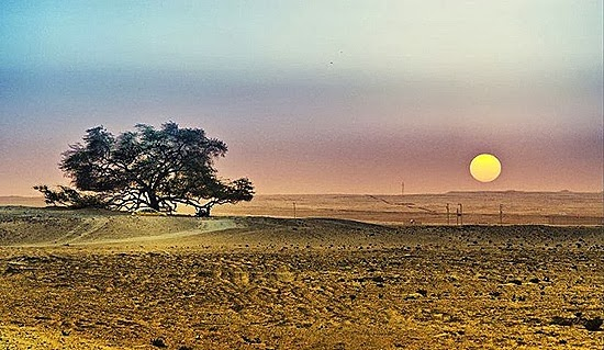 A Miraculous Survival of Tree in the desert of Bahrain 11