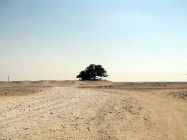 A Miraculous Survival of Tree in the desert of Bahrain 8