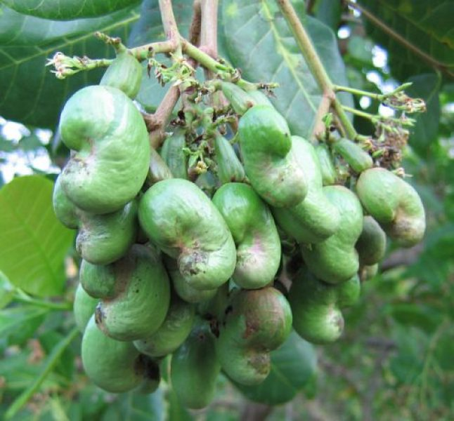 Young Cashew Nuts