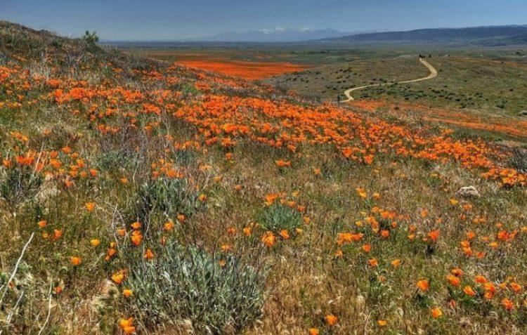 Antelope Valley Poppy Reserve in California10_exposure_resize