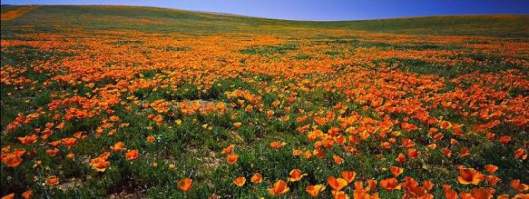 Antelope Valley Poppy Reserve in California21_exposure_resize