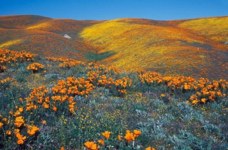 Antelope Valley Poppy Reserve in California_exposure_resize