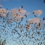 Bracken Bat Colony: The Largest Aggregations of Mammals on Earth