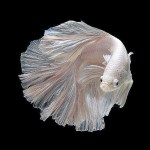 Dazzling Series of Siamese fighting fish By Visarute Angkatavanich