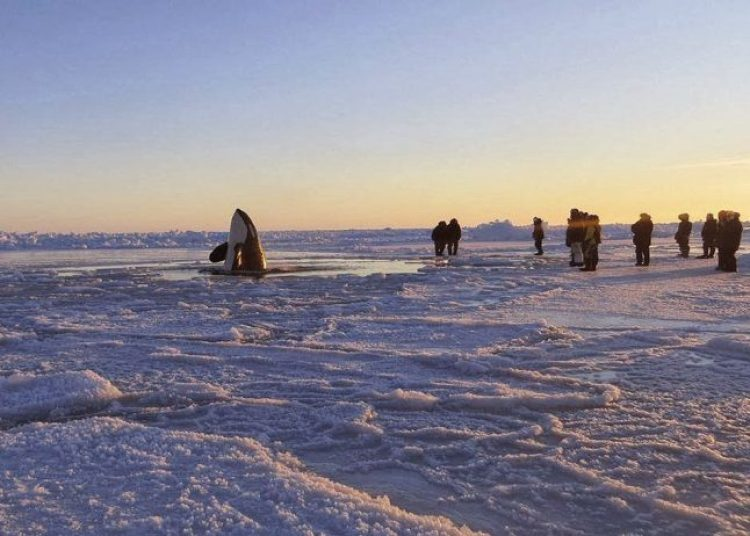In Hudson Bay stuck 12 orcas. Rescue operation was a success, and all the orcas were free.
