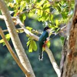 """Cuban Trogon"" World's Most Fascinating Colorful Bird"