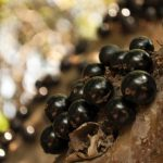 """Jabuticaba"" A Rare Fruit Which Tree Bear Fruits on Its Trunk"