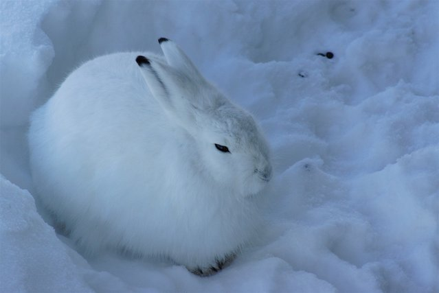 The arctic hare16