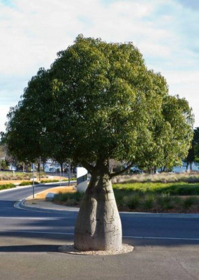Bottle Tree of Queensland Brachychiton Rupestris1