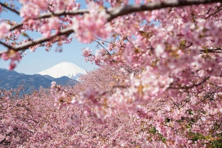 Cherry Blossoms is a cultural symbol of Japan1