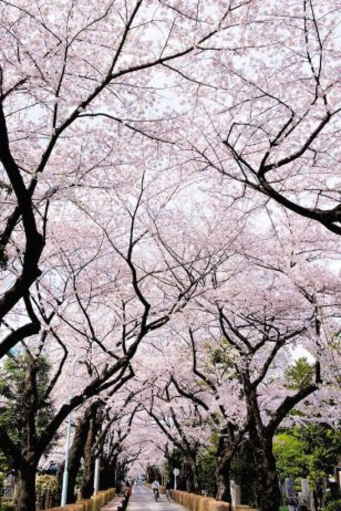 Cherry Blossoms is a cultural symbol of Japan19