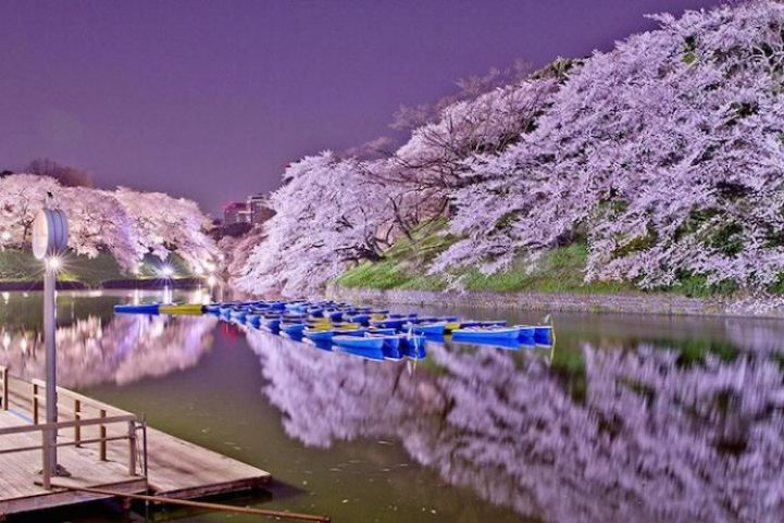 Cherry Blossoms is a cultural symbol of Japan5