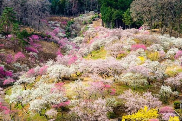 Cherry Blossoms is a cultural symbol of Japan7