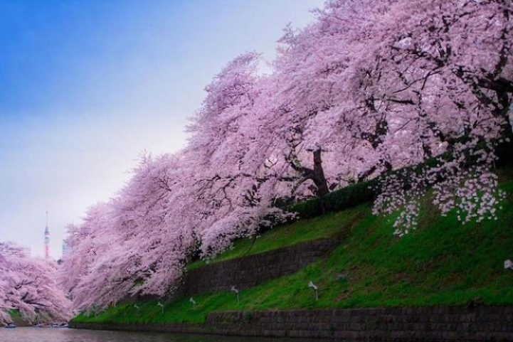 Cherry Blossoms is a cultural symbol of Japan9