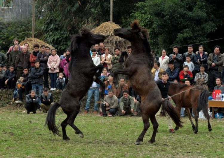 Horse Fighting in China11