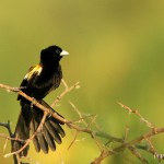 White-Winged Widowbird Bird