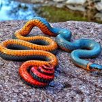 The Ring-Necked Snake (Diadophis Punctatus)