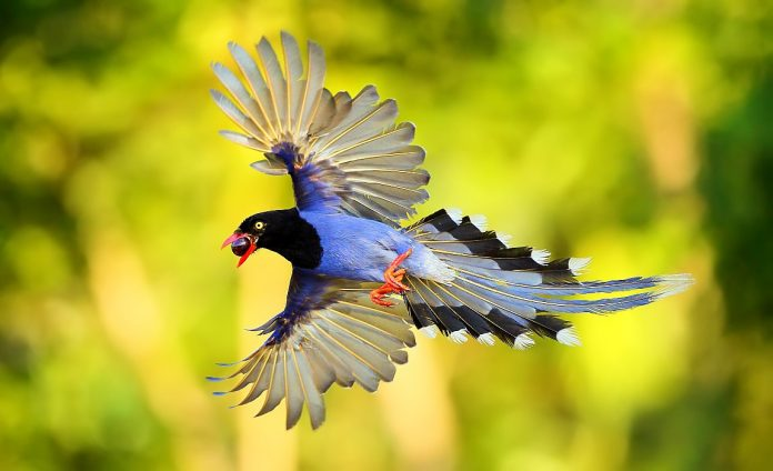 "Taiwan Blue Magpie ""Long Tailed Mountain Lady"""