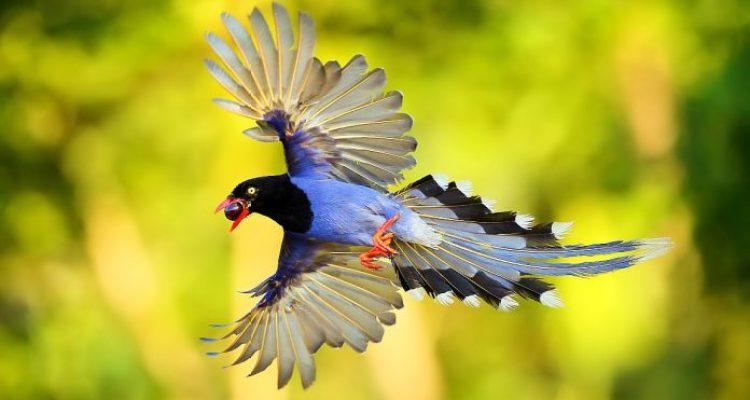 Resultado de imagem para Formosan Blue Magpie