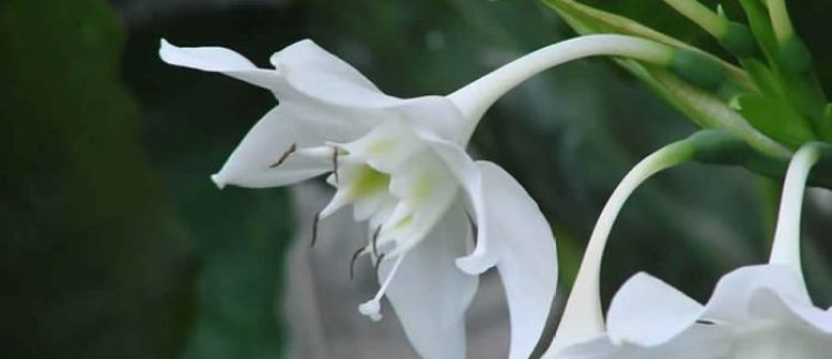 Lily of the Amazon