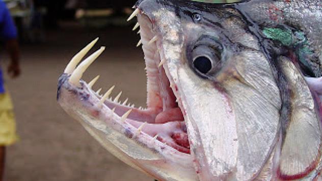 Payara (Vampire Fish)