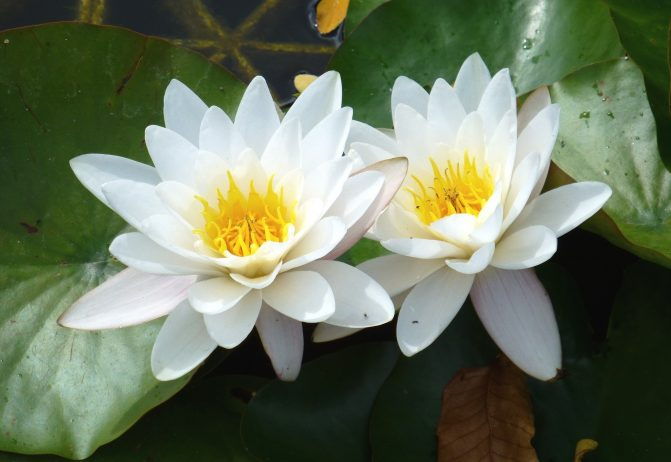 White Water Lily is Perpetual Flower Forms in Dense Colonies
