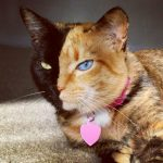 Chimera A Cute Cat Has Two-Toned Face