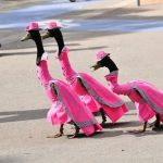 Fashionable Ducks Waddle down the Catwalk in Annual Fashion Show