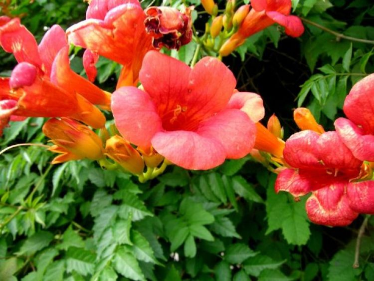 Grow trumpet vine in full sun in moderately fertile, moist, well-drained soil