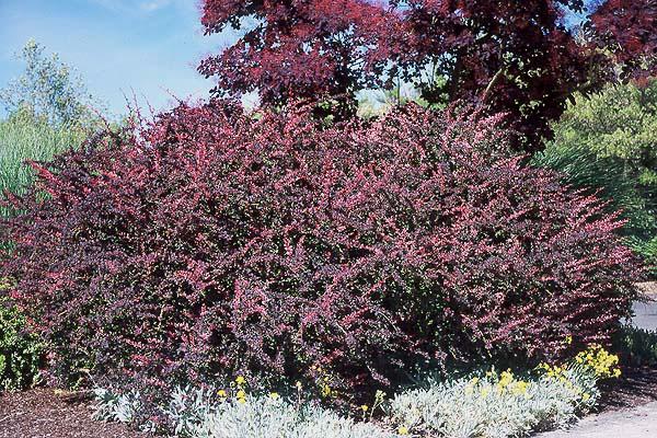 barberry are popular garden specimens