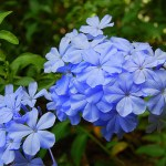Periwinkle is a Perpetual Flower That Can Bloom throughout the Year