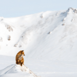 Superlative Photos of Wild Foxes in Russia's Snowy Landscape