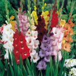 "Gladiolus or ""Glads"" are Bright Colors Popular Flowers"