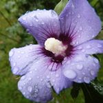Rose of Sharon is in number of varieties shades