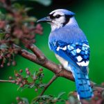 Colorful Blue Jay's is a Common in Backyards and Forest of North America