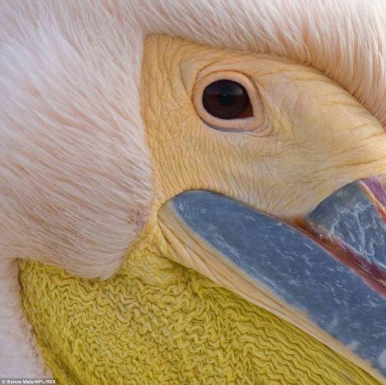 A close-up snapshot of an Eastern White Pelican, taken on the Danube Delta of eastern Romania