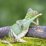 Dragon Lizard Captured looks like Playing with Leaf Guitar in Indonesia