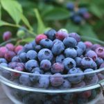 Blueberry is a Sweet and Tasty Fruit