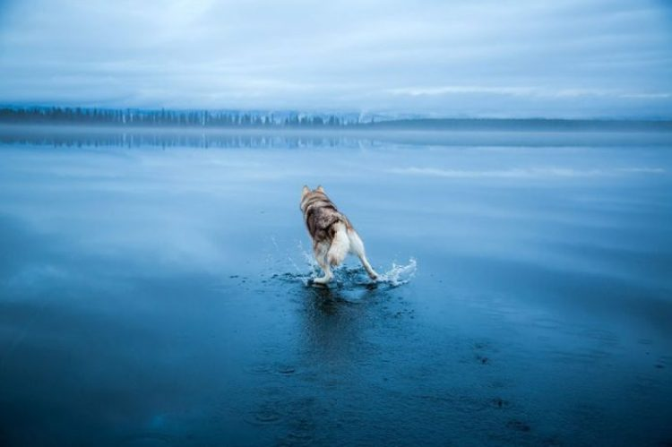 siberian-husky-frozen-lake-dog-photos-fox-grom-12