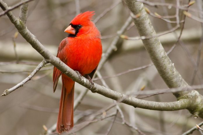 the northern cardinal bird is a songbird sing variety of