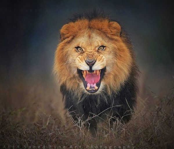 Atif Saeed 38, just moments before the lion made an offensive move is now going viral on the Internet.